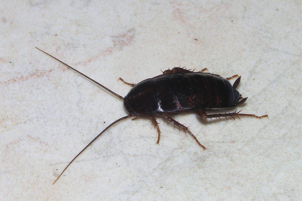 Blatta orientalis или Черный таракан