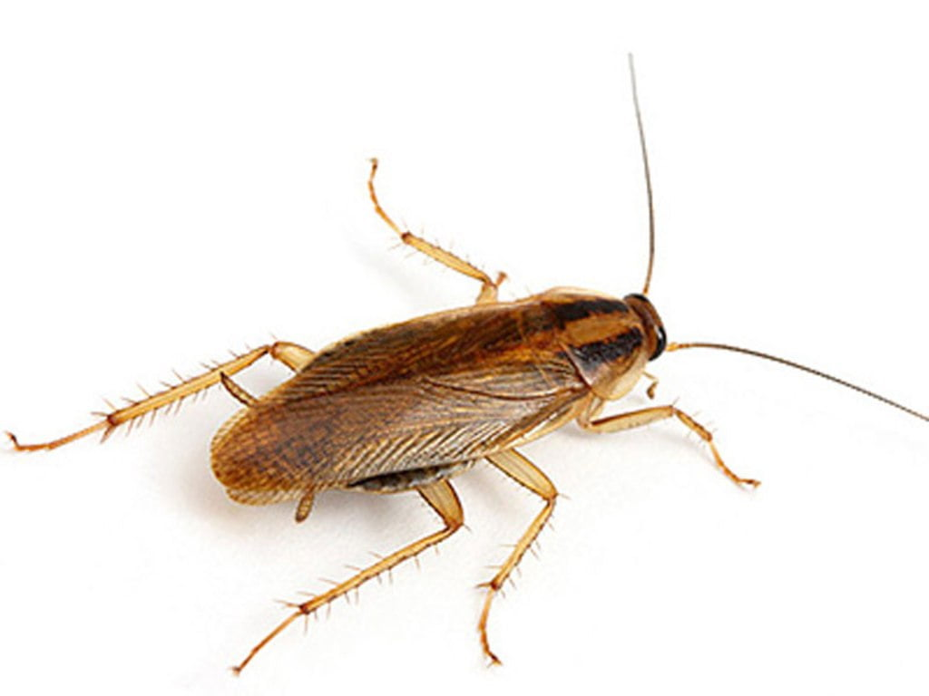 Blattella germanica или рыжий таракан