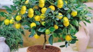 Лимонное дерево