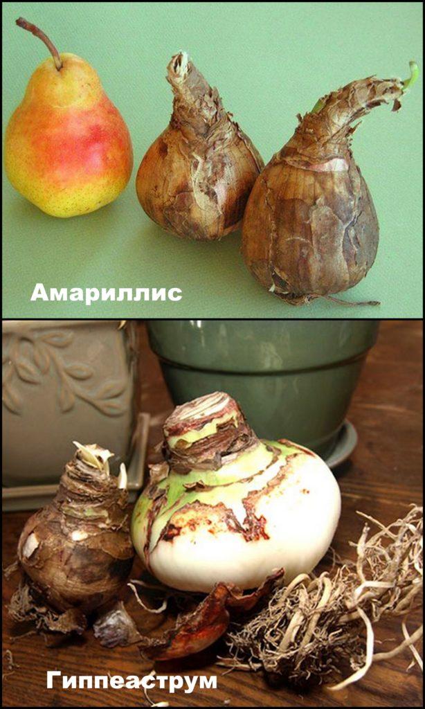 Луковицы амариллиса и гиппеаструма