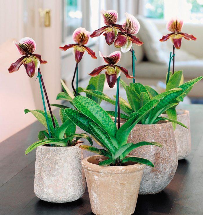 Орхідея пафіопеділум