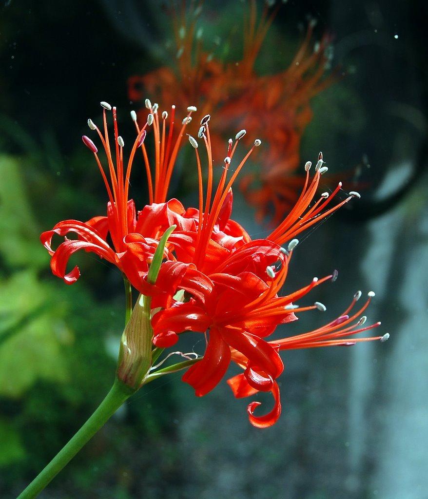 Парадисикола (Amaryllis Sarniensis)