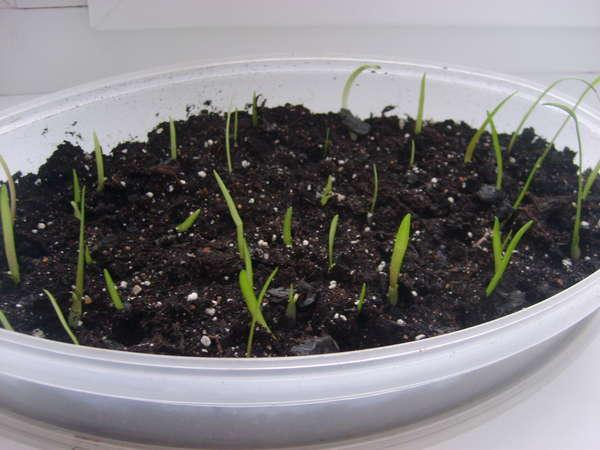Семена амариллиса