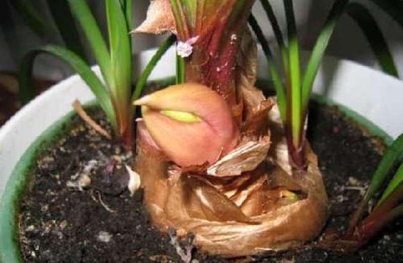 Вегетативный способ размножения амариллиса