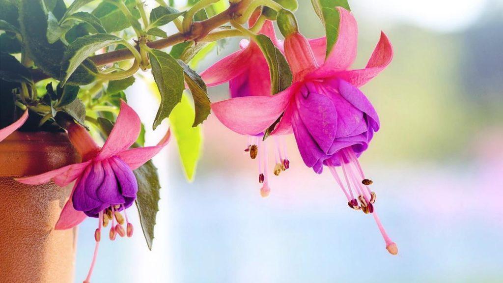 Фуксія квітка