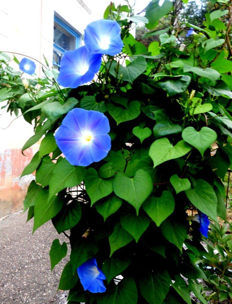 Блакитна зірка іпомея