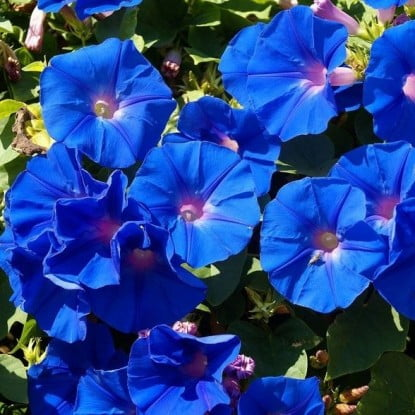 Небесно блакитна іпомея