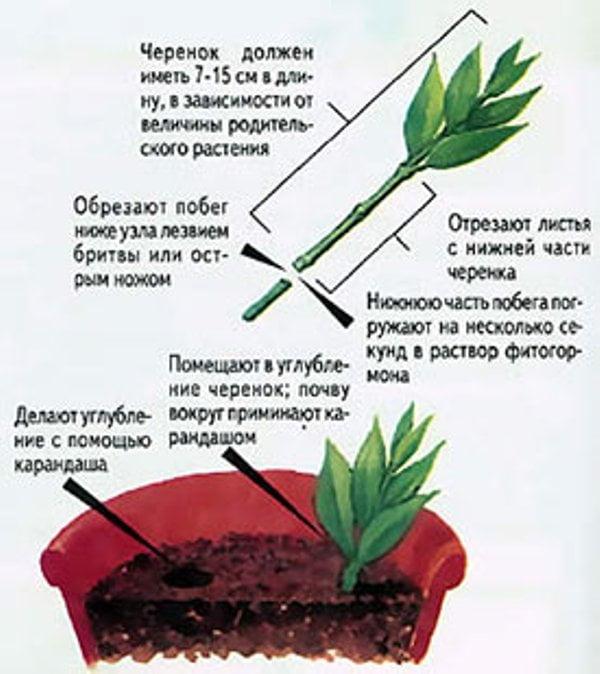 Размножение бальзамина