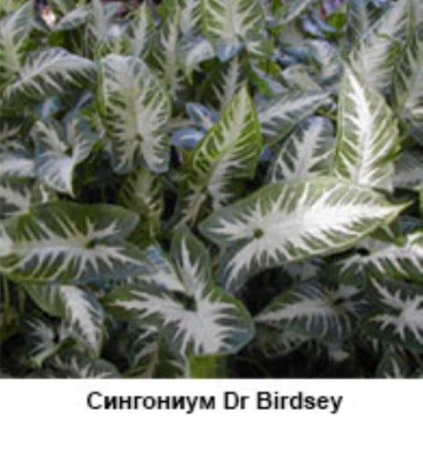 Syngonium Dr Birdsey