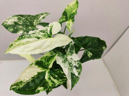 Syngonium Imperial White