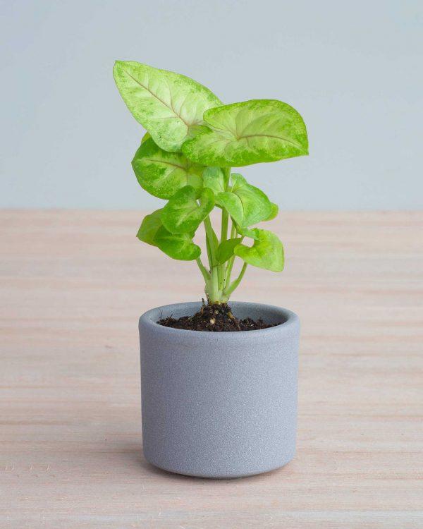Syngonium Mango Allusion