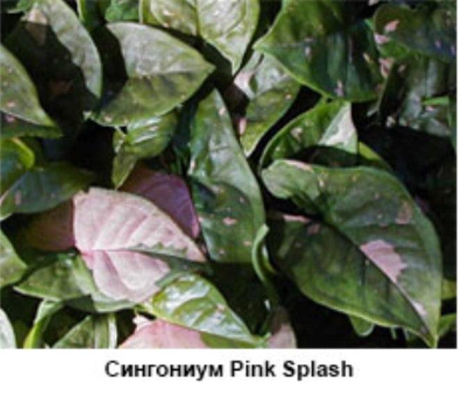 Syngonium Pink Splash