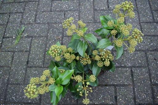 Hedera Colchica Arborescens