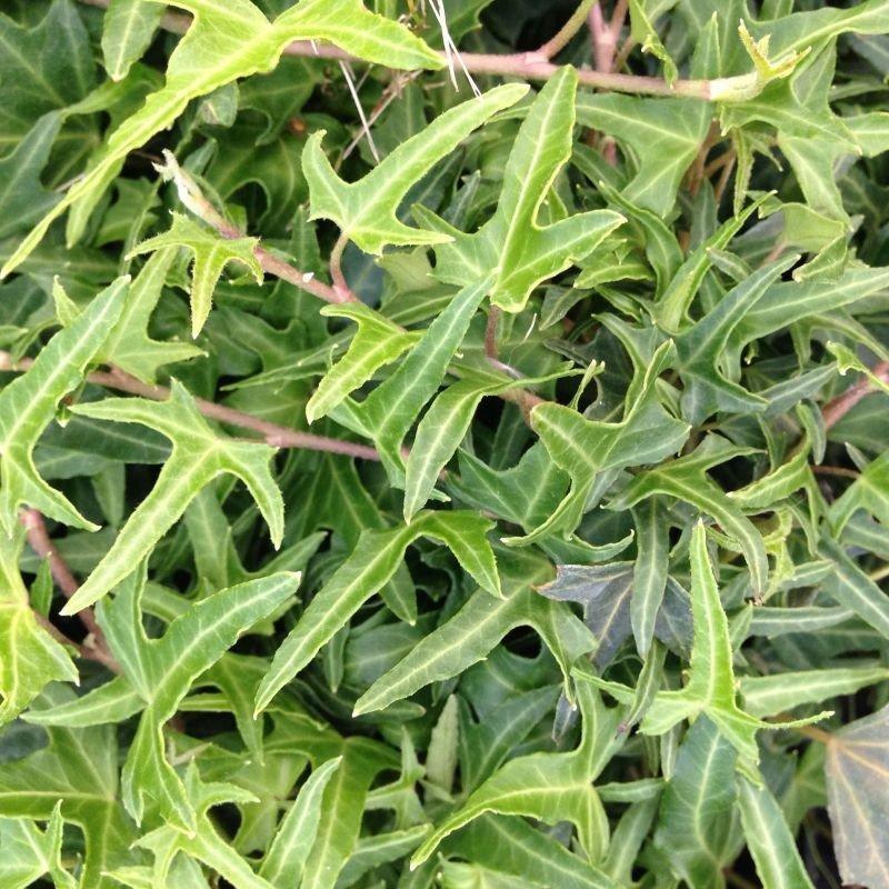 Hedera helix Sagittaefolia