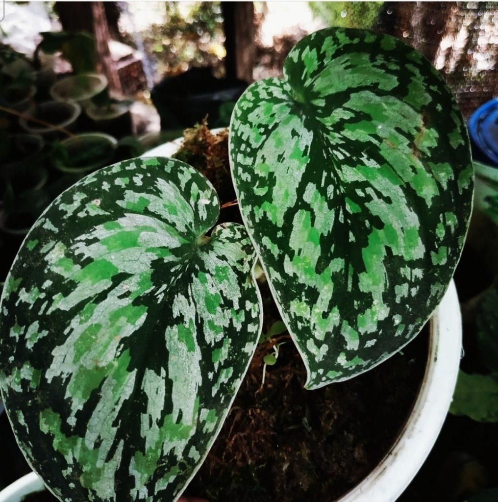 Scindapsus Tricolor