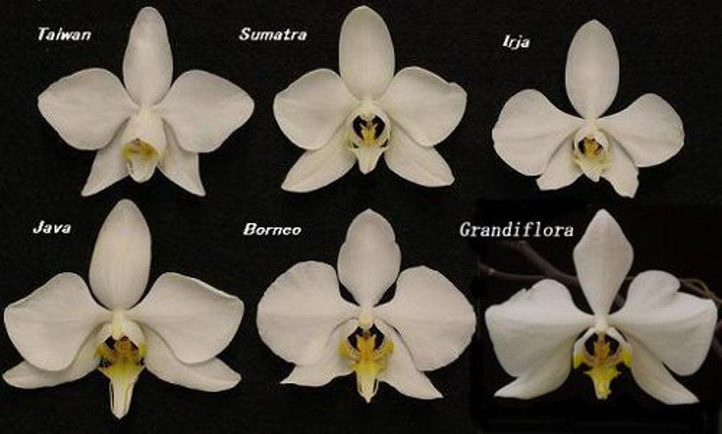Amabilis Phalaenopsis